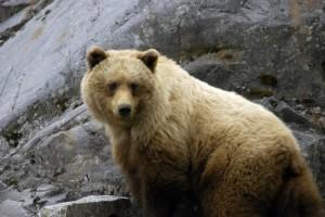 brown-bear-2